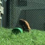 Bumi orangutan Topeka Zoo
