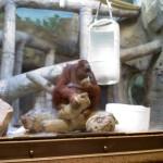 Jill, a female orangutan, at the Kansas City Zoo (2012(