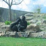 Matt, a male gorilla, at the Sedgwick County Zoo (2007)
